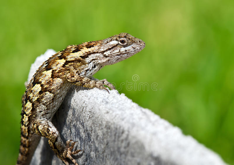 Texas spiny lizard. (Sceloporus olivaceus) basking in garden. Soft green background with copy space stock photography