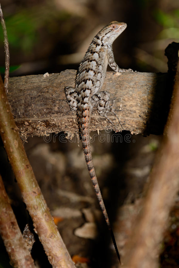 Texas Spiny Lizard - Sceloporus olivaceus. Full length vertically posed as it clings to log stock images