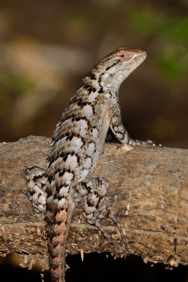 Texas Spiny Lizard - Sceloporusolivaceus royaltyfri fotografi