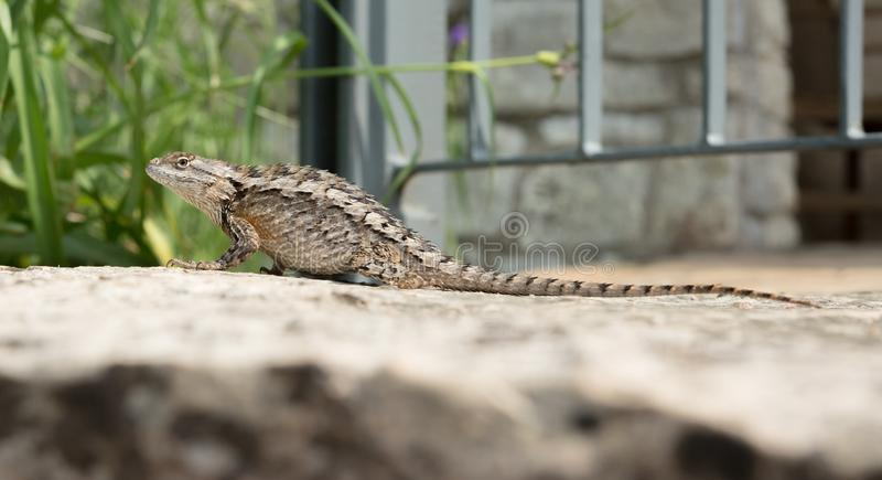 Texas Spiny Lizard on a rock. A Texas Spiny Lizard sunning herself on a limestone rock uses camouflage to hide stock image