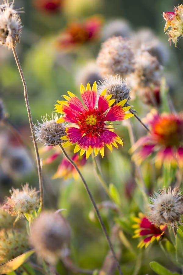 Texas Summer Wildflowers på soluppgång arkivfoton