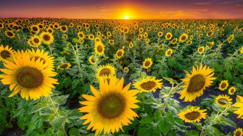 Texas Sunflower Field imagen de archivo