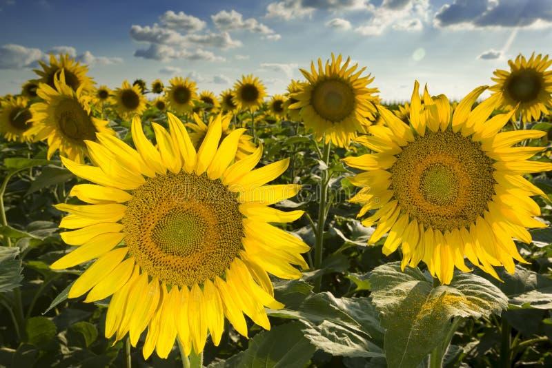 Texas Sunflower Field royaltyfria foton