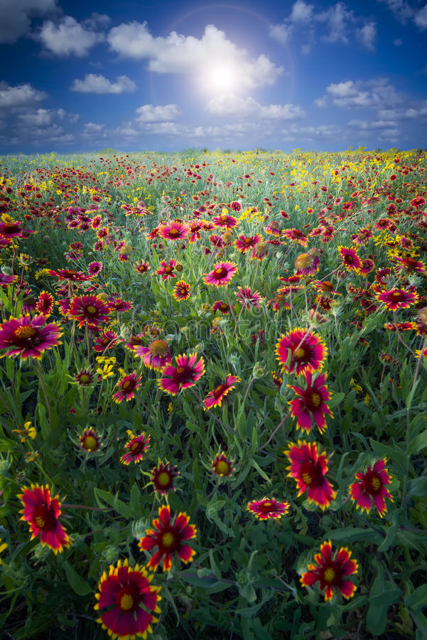 Texas Sunflowers fotografie stock libere da diritti