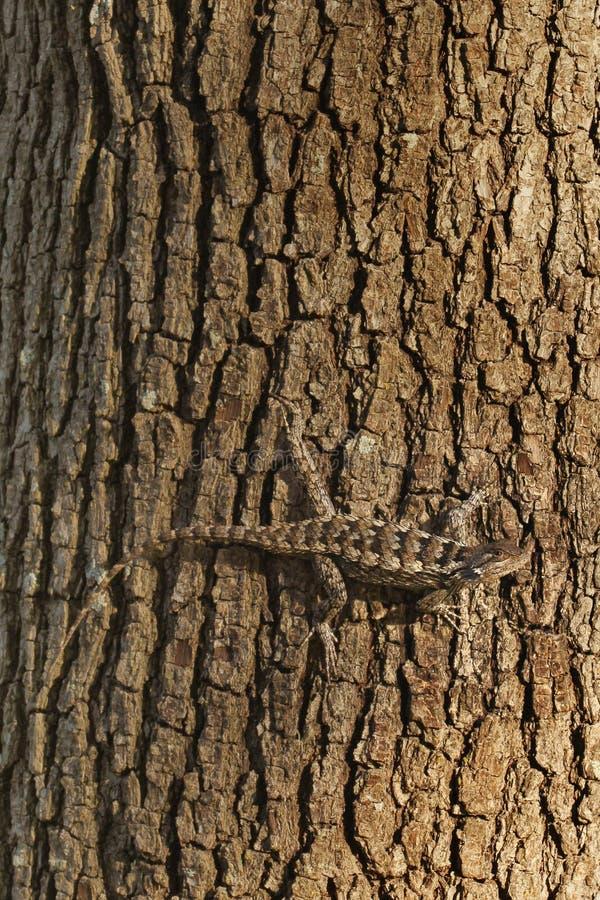 Texas taggig ödla på träd royaltyfri bild
