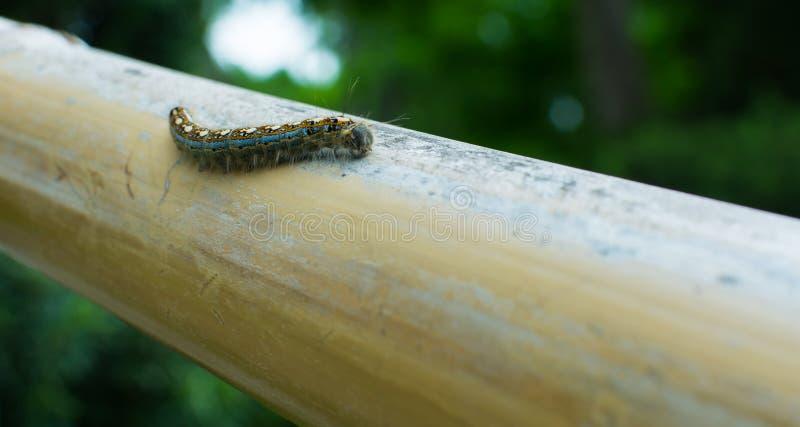 Texas Tent Caterpillar op Bamboe royalty-vrije stock foto's