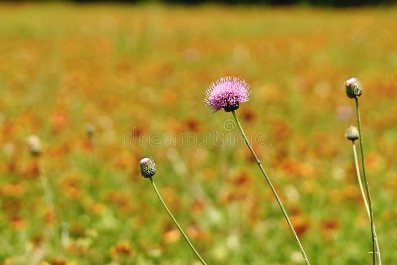 Texas Thistle blommor royaltyfri fotografi