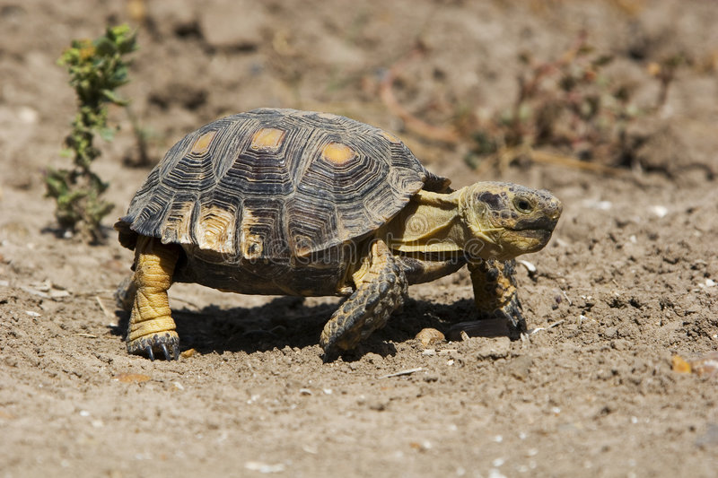 Download Texas tortoise stock photo. Image of species, arid, land - 6250672