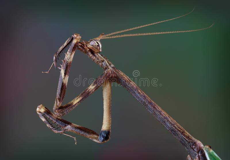 Texas Unicorn mantis cleaning his leg royalty free stock image