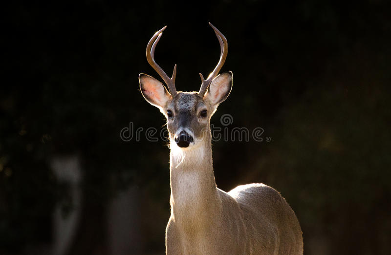 Texas White tailed Deer Trophy Six Point Antler Buck stock photography