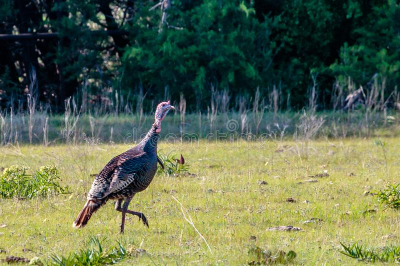 Texas Wild Turkey Walking Across le pâturage images libres de droits