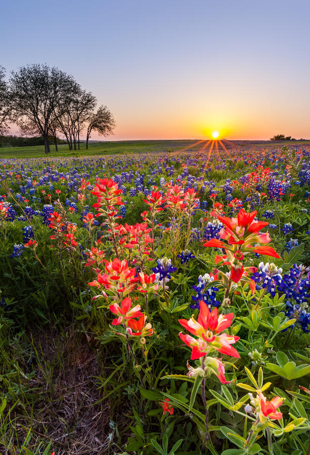 Texas wildflower - bluebonnet and indian paintbrush field in sunset stock photography