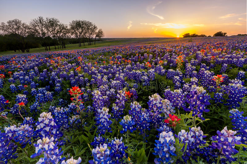 Texas wildflower - bluebonnet and indian paintbrush filed in sunset.  royalty free stock photos