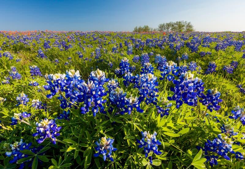 Texas-Wildflower - Bluebonnet und indischer Malerpinsel im Frühjahr archiviert stockbild