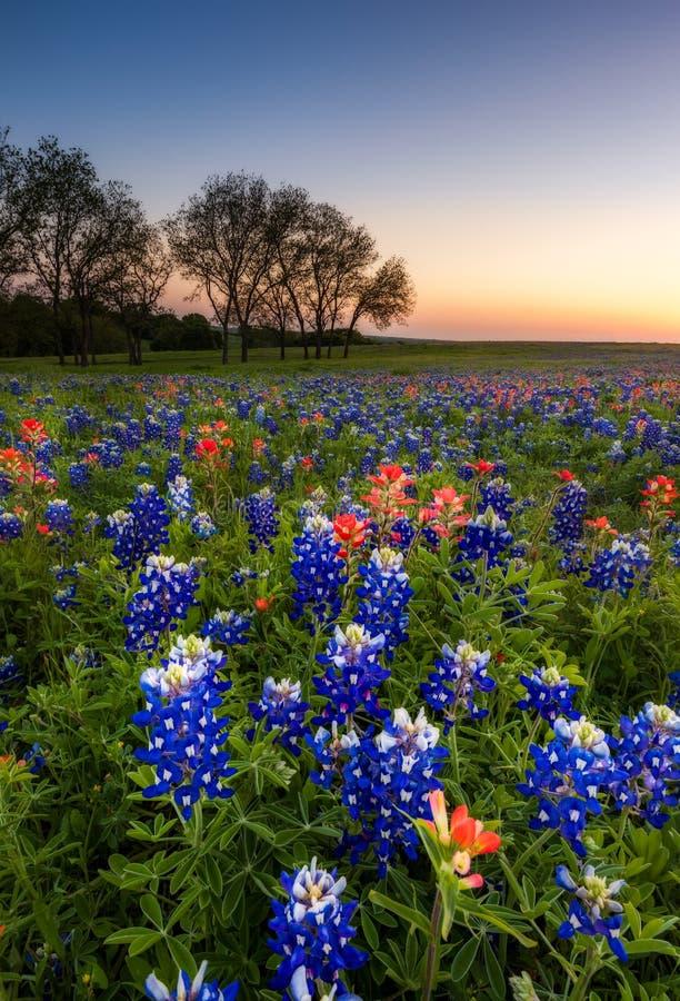 Texas-Wildflower - Bluebonnetfeld bei Sonnenuntergang stockfoto