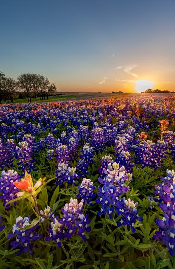 Texas-Wildflower - Bluebonnetfeld im Sonnenuntergang lizenzfreie stockbilder