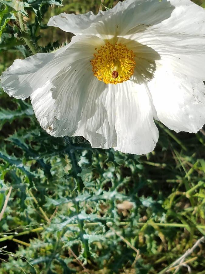 Texas Wildflower imagens de stock
