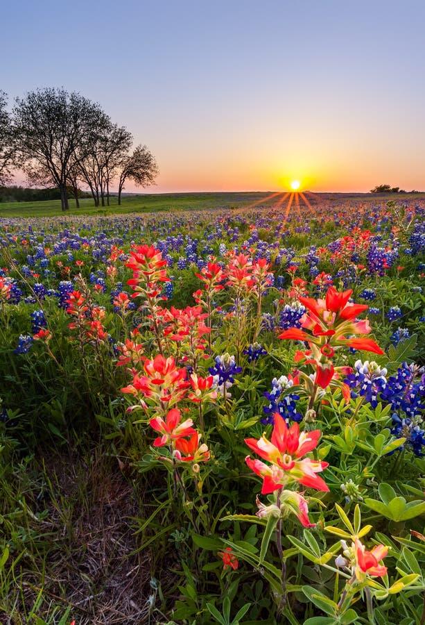 Texas-Wildflower - Feld des Bluebonnet und des indischen Malerpinsels im Sonnenuntergang stockfotografie