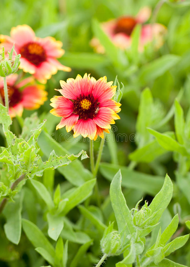 Download Texas Wildflower Indian Blanket With Insect Stock Image - Image of yellow, closeup: 18978729