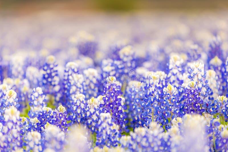 Texas-Wildflower - Nahaufnahme Bluebonnets im Frühjahr stockbild