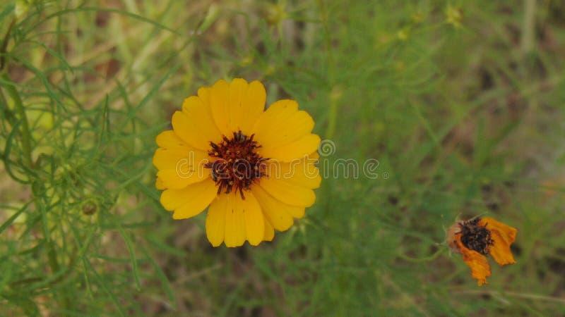 Texas Wildflower Next giallo al fiore morto immagine stock