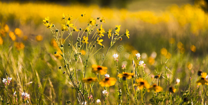 Texas Wildflowers immagine stock