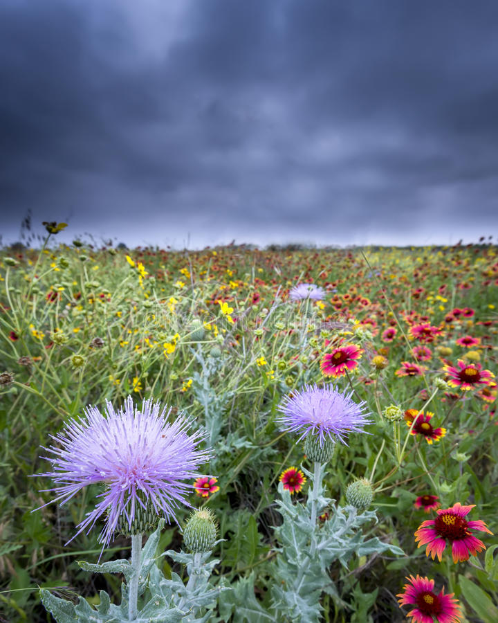 Texas Wildflowers imagem de stock