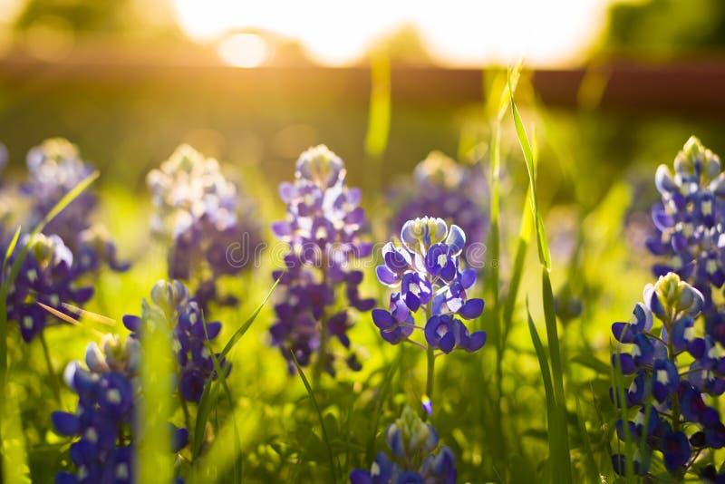 Texas Wildflowers royaltyfri fotografi