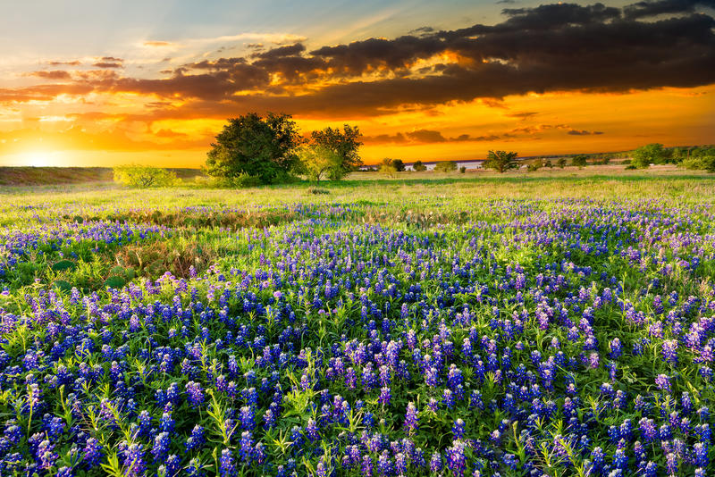 Texas Wildflowers royaltyfri fotografi