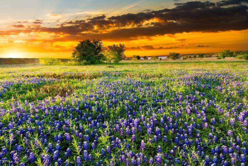 Texas Wildflowers royalty-vrije stock fotografie