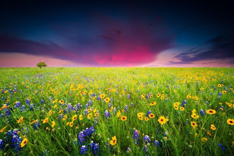 Texas Wildflowers imagens de stock royalty free