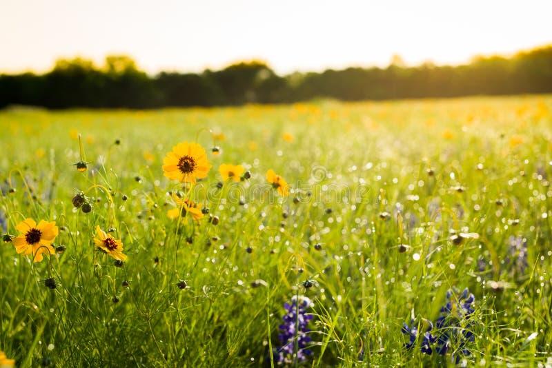 Texas Wildflowers royaltyfri bild