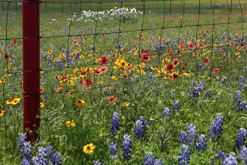 Texas Wildflowers fotografia de stock
