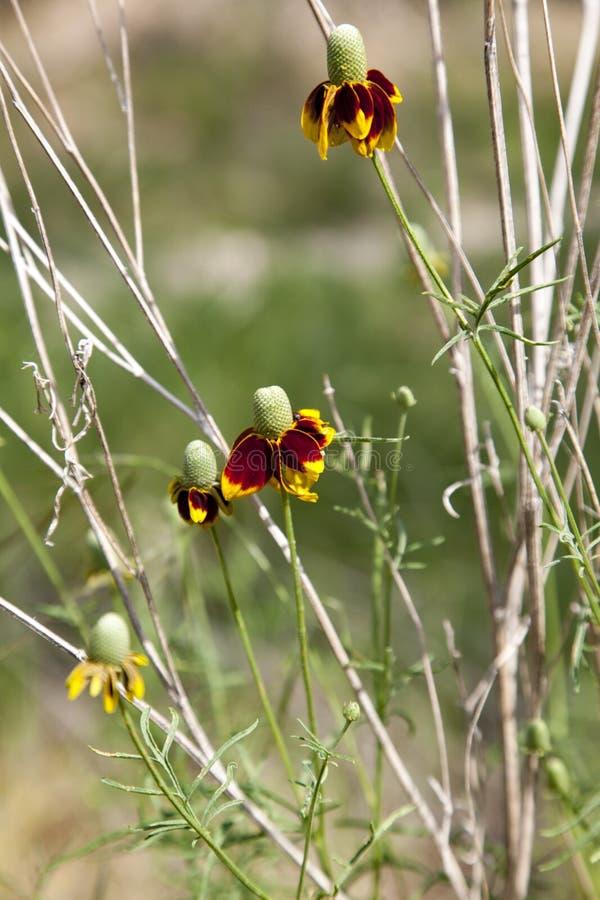 Texas Wildflowers stock afbeelding