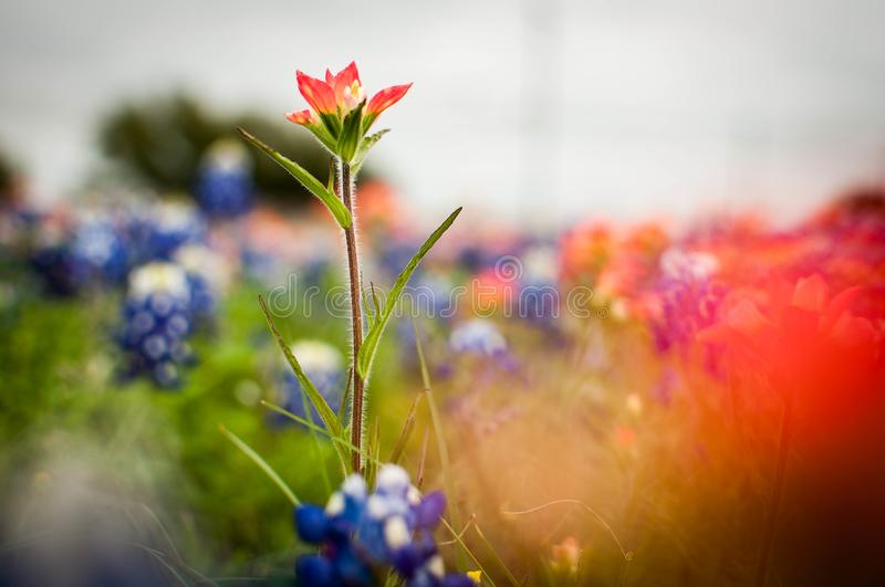 Texas Wildflowers photographie stock