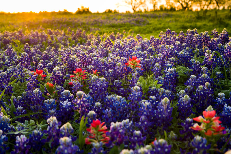 Texas wildflowers awash in early morning sunshine royalty free stock photos