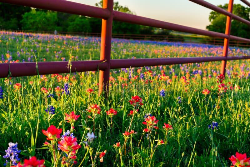 Texas Wildflowers stock photos