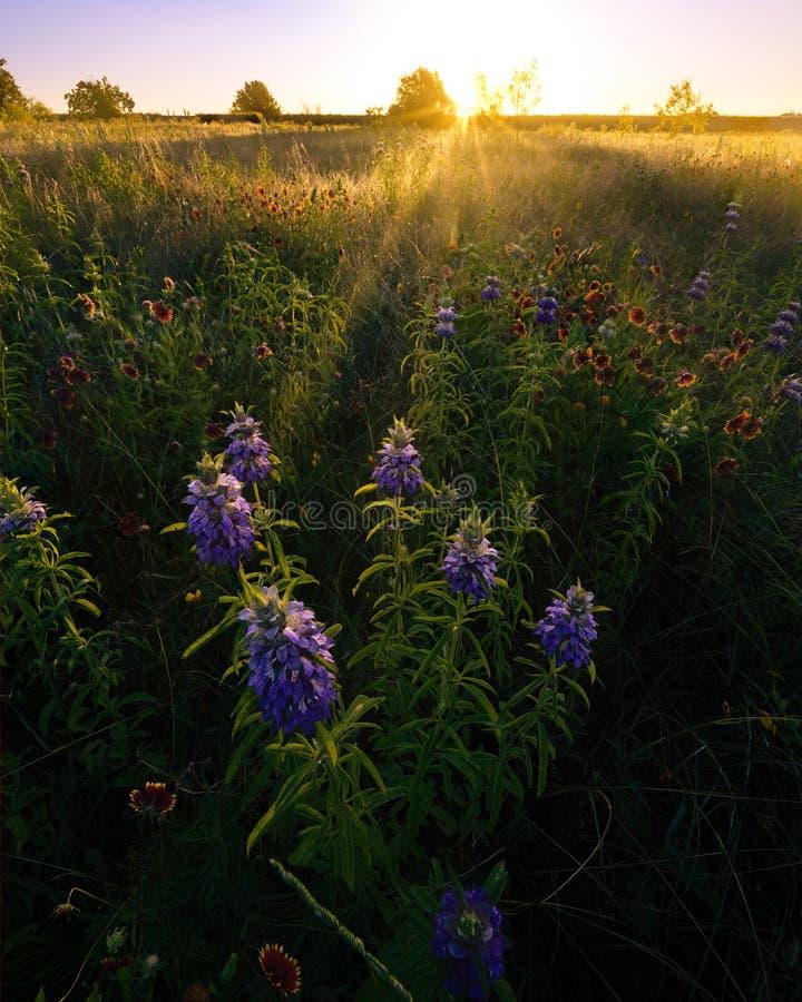 Texas Wildflowers en la salida del sol en un campo rural imagenes de archivo