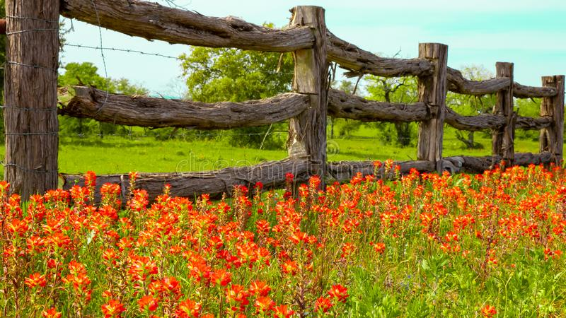 Texas wildflowers near rustic wood fence stock photography
