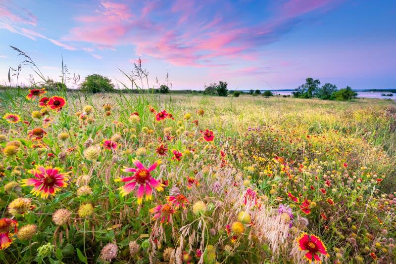 Texas Wildflowers no nascer do sol imagens de stock