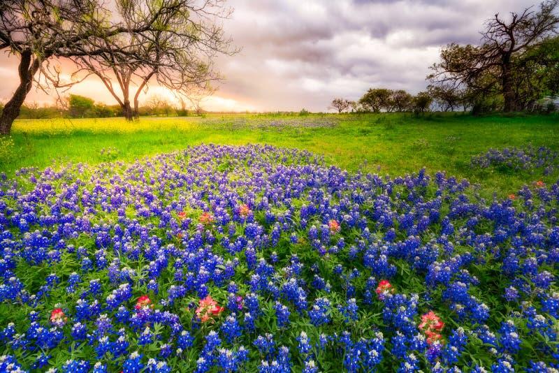 Texas Wildflowers su una mattina nuvolosa della primavera fotografia stock