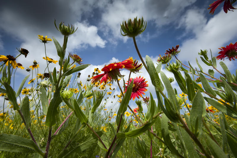 Texas Wildflowers. Sunflowers and Indian blankets against a slightly ominous Texas sky royalty free stock image