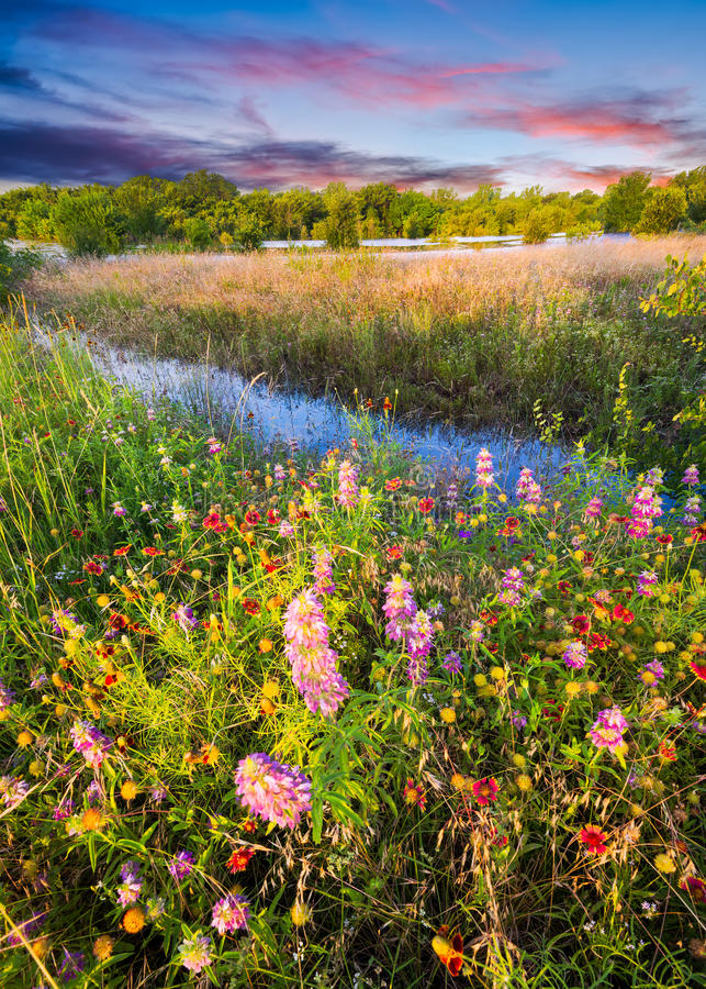 Texas Wildflowers at Sunrise royalty free stock photos