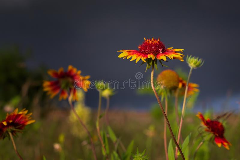 Texas Wildflowers Before una tempesta di prima serata immagine stock