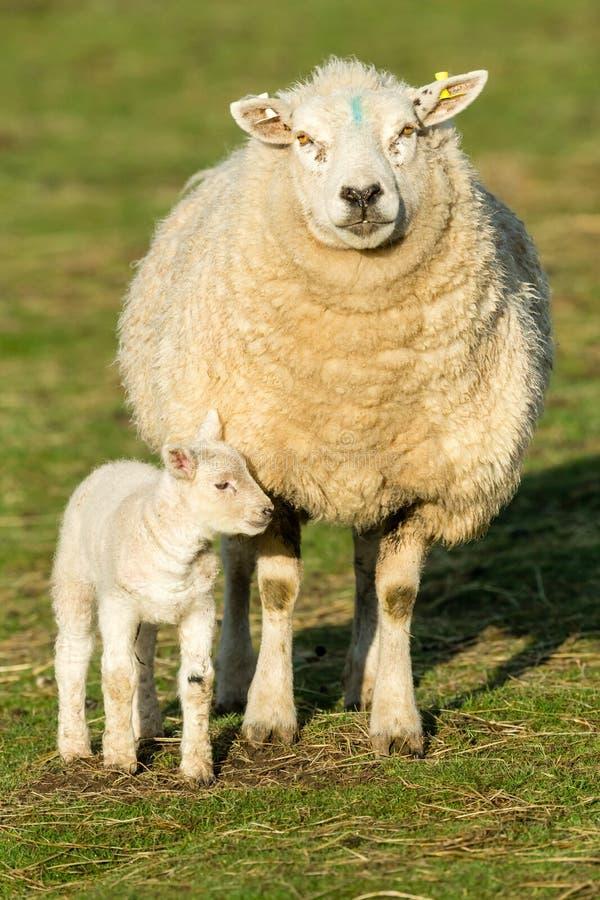 Texel ewe Female sheep with her newborn lamb. Portrait, vertical. Texel Ewe  Female sheep with her newborn lamb. Texel is a breed of sheep. Facing forward stock photo
