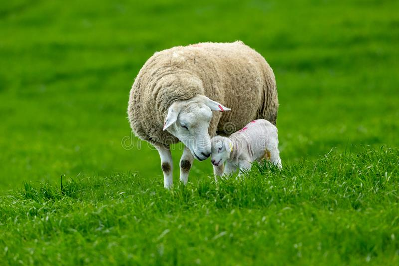 Lambing time, Texel Ewe with newborn lamb royalty free stock images