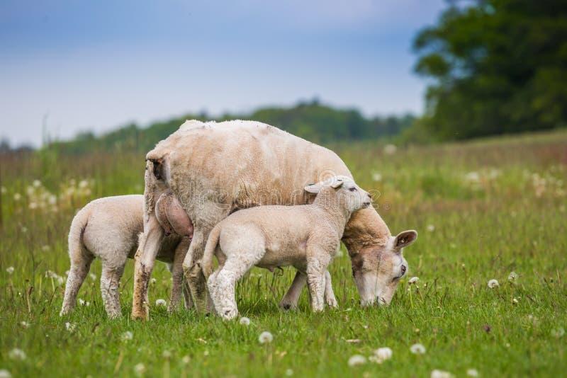Texel-Mutterschaf, weibliches Schaf, mit neugeborenen Doppellämmern in üppiger grüner Wiese im Frühjahr Zeit lizenzfreie stockfotografie