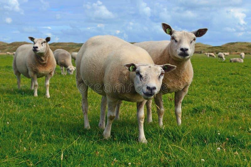 Texel sheeps, ciężko umięśniony traken domowi cakle od Texel wyspy w holandii liv obrazy royalty free