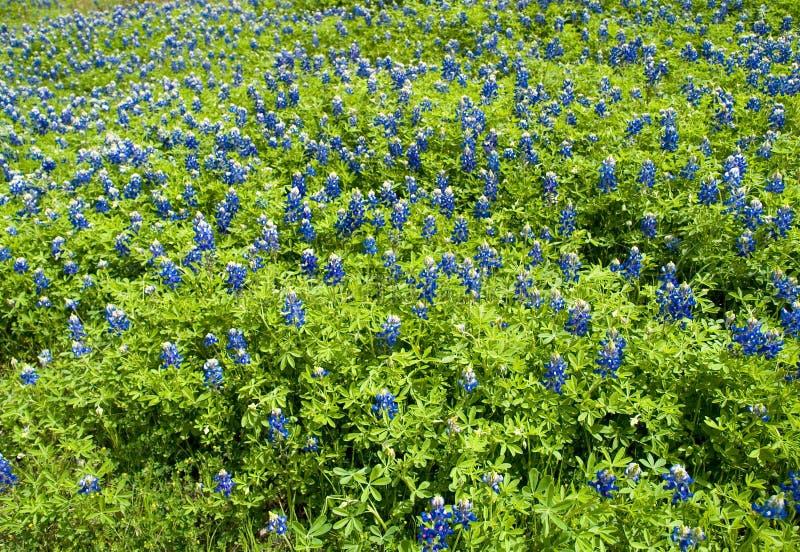 Texensis 6 lupinus Bluebonnet стоковое изображение