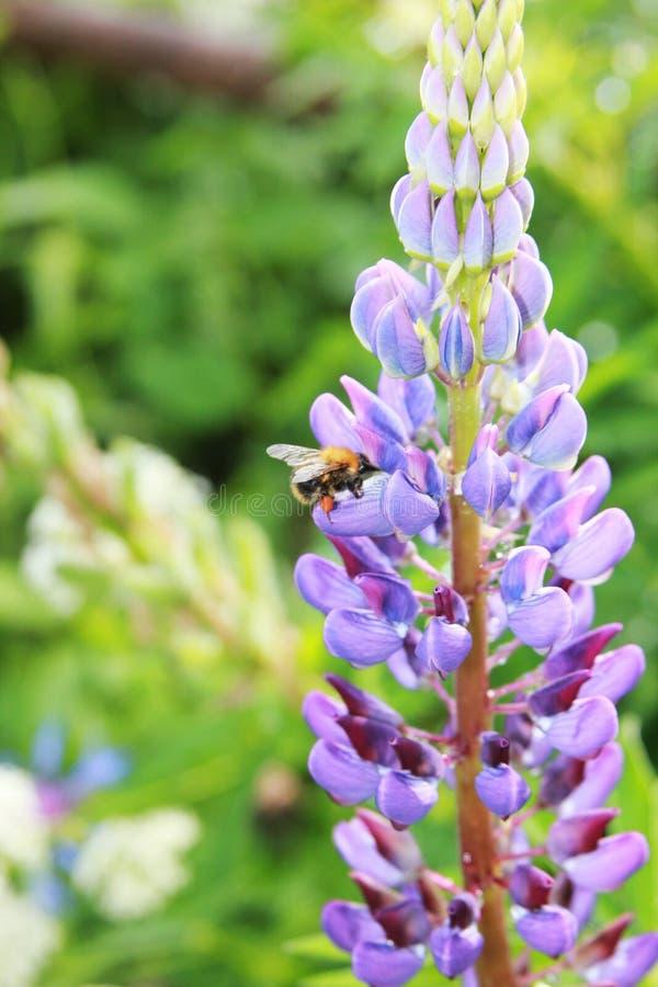 Texensis de lupinus Le bourdon rassemble le miel sur un de loup pourpre photographie stock